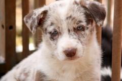 Jigsaw x Dale pup no 4 - -037 17-08-2014 11-09-48